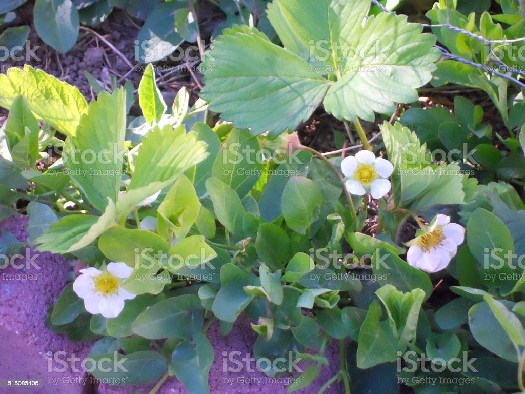 Strawberry Flowers stock photo