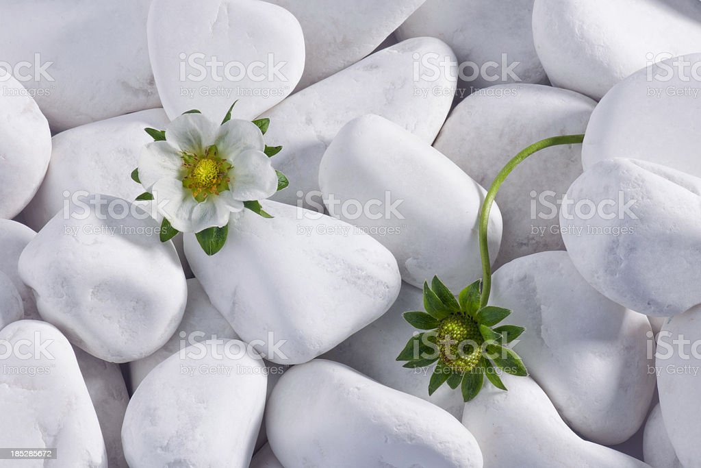 Strawberry Flowers with White Pebbles royalty-free stock photo