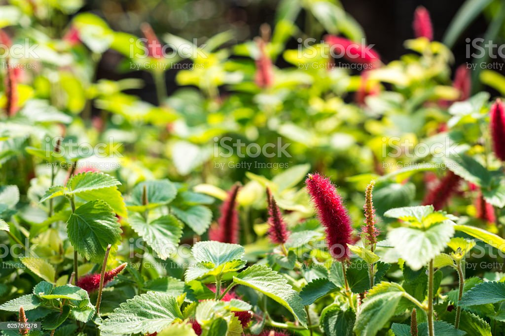 Strawberry Fox tail in spring stock photo