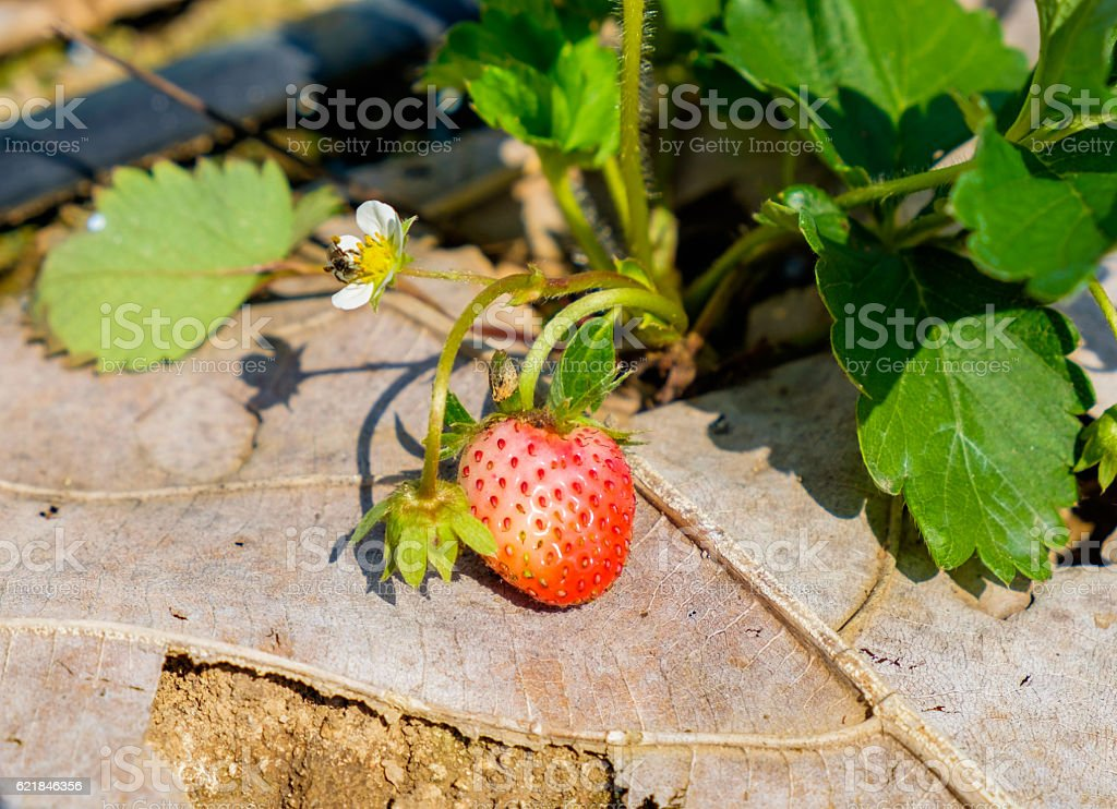 Strawberry fruit flower and leaf in garden stock photo