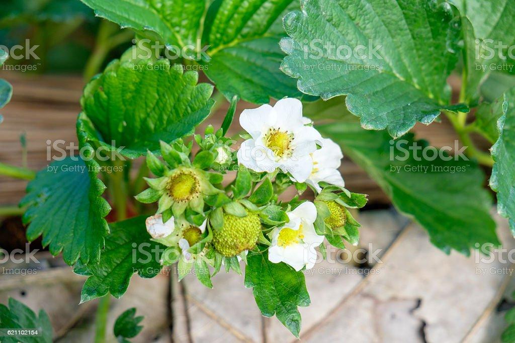Strawberry fruit in garden stock photo