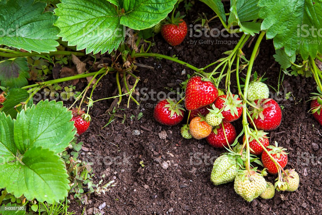 Strawberry fruits growing in garden. stock photo