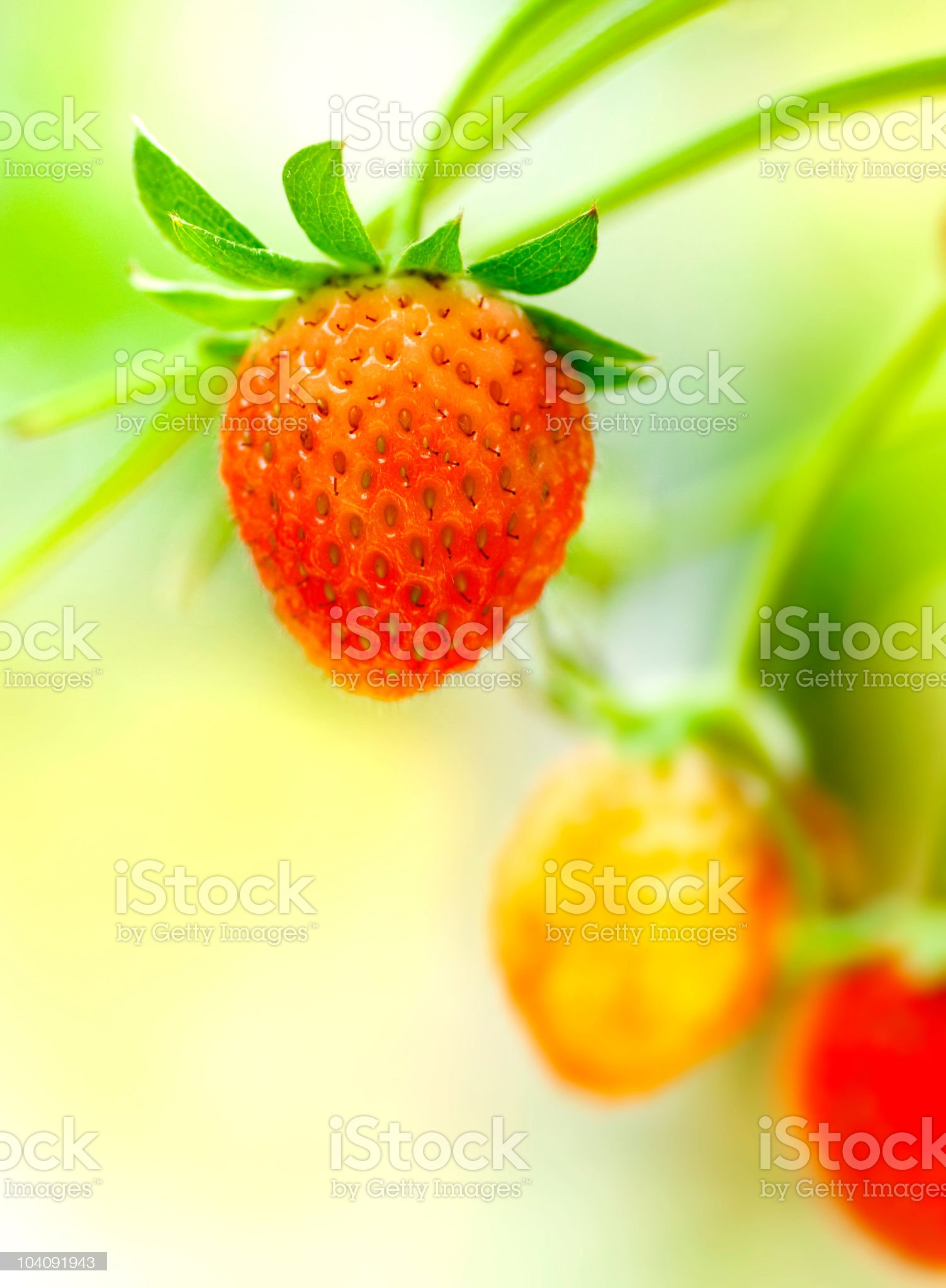 Strawberry fruits on the branch royalty-free stock photo