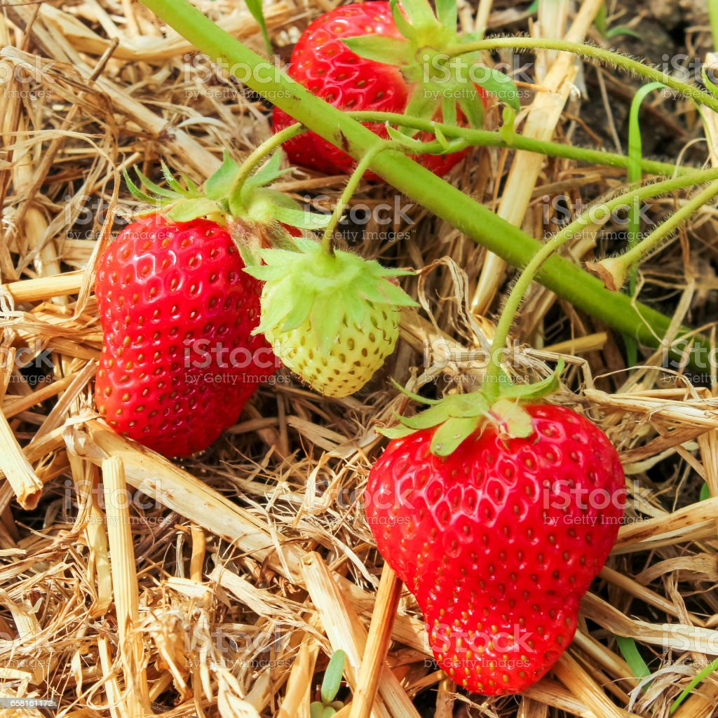strawberry green and red with leaves stock photo