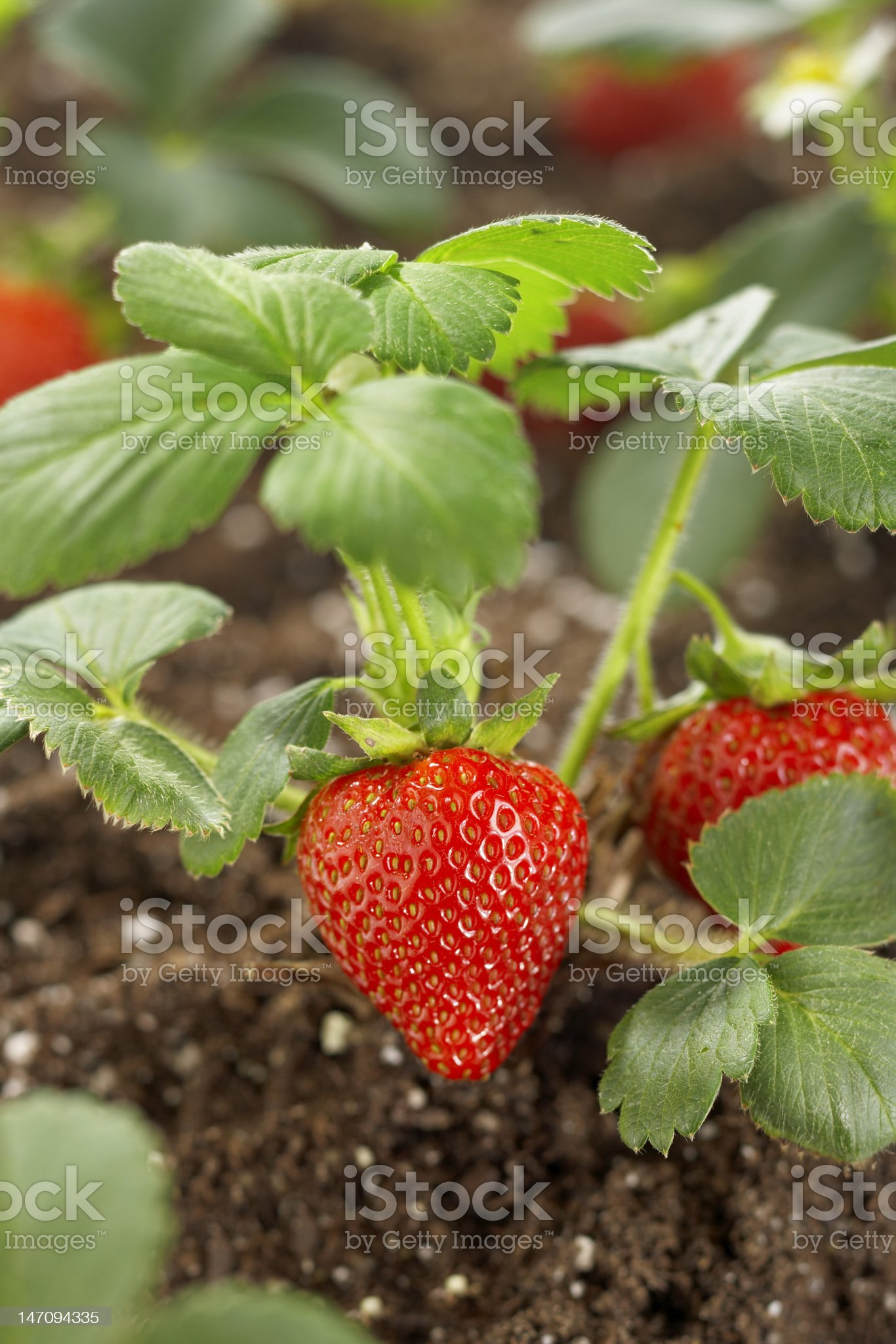 Strawberry growing in a garden royalty-free stock photo