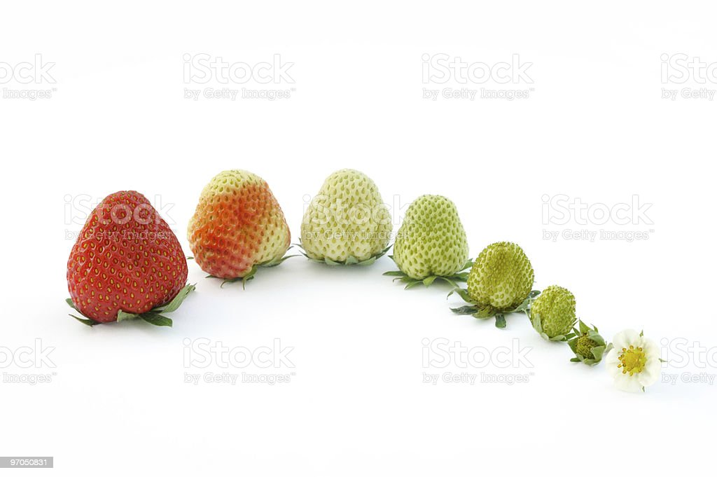 Strawberry growth isolated on white royalty-free stock photo