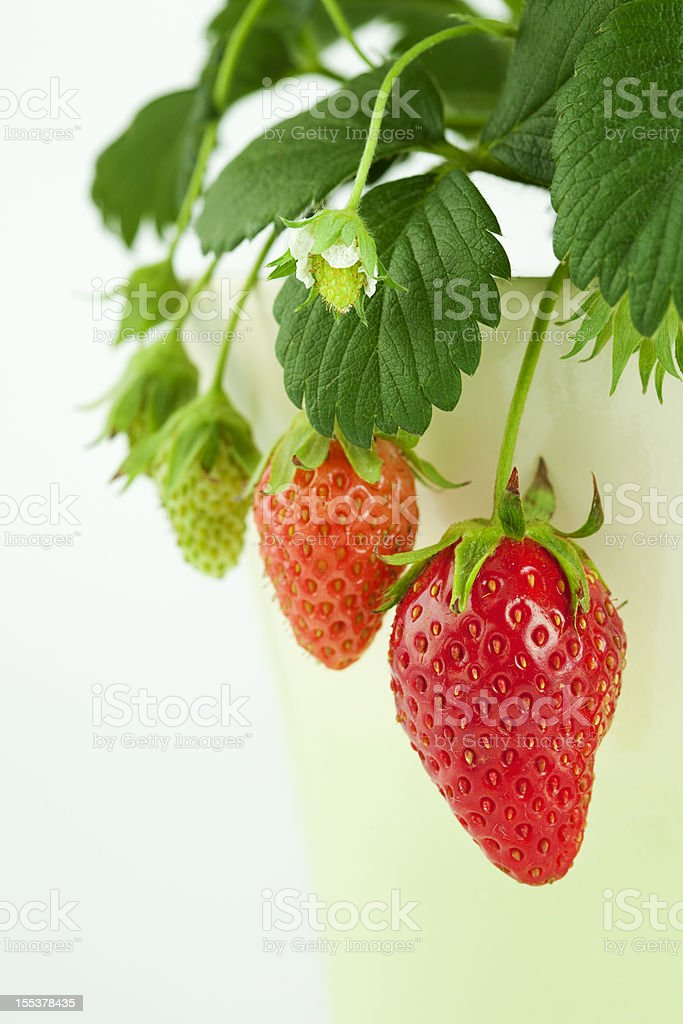 Strawberry growth stock photo