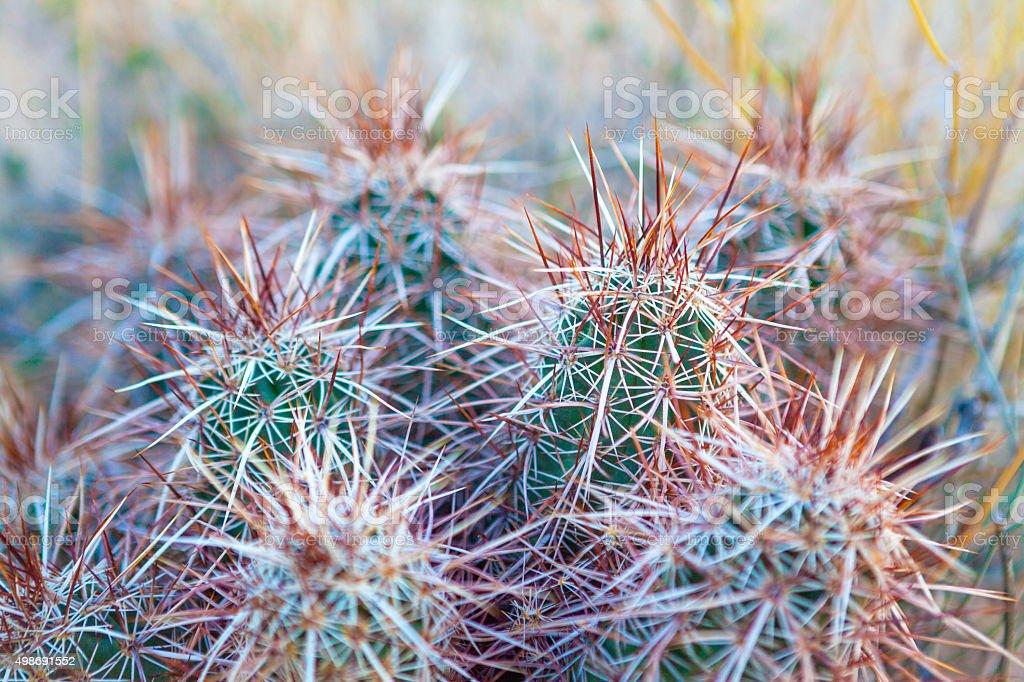 Strawberry Hedgehog Cactus, Joshua Tree National Park stock photo