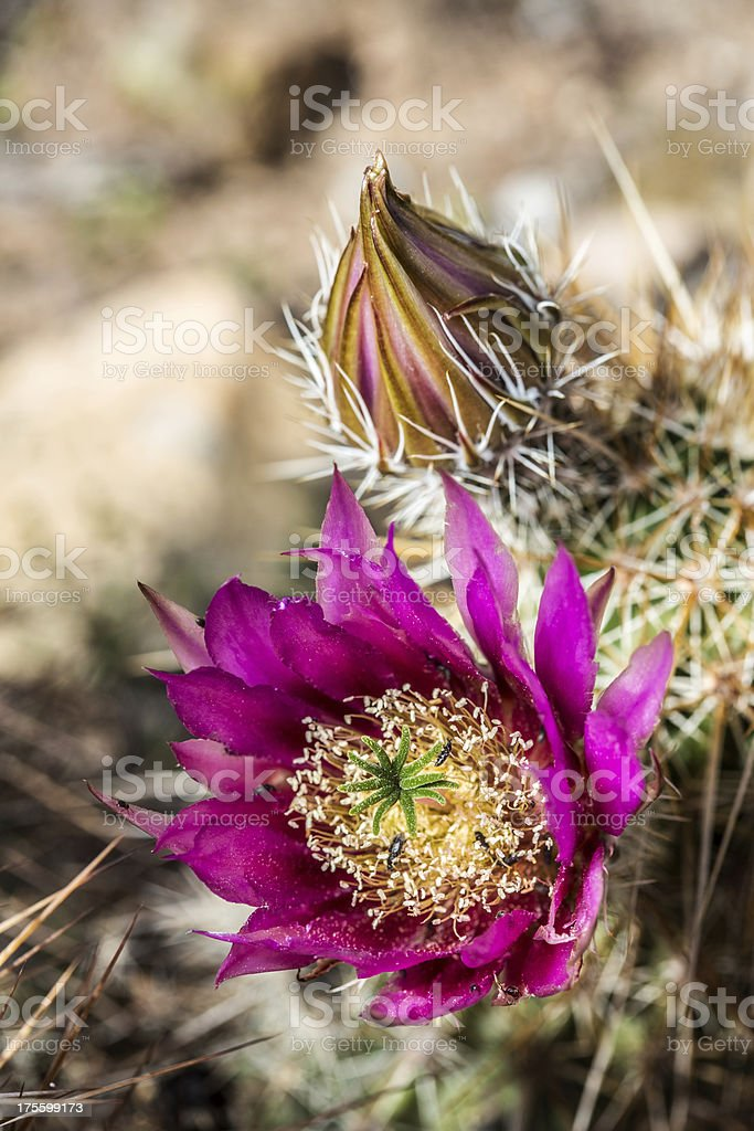 Strawberry Hedgehog Cactus royalty-free stock photo
