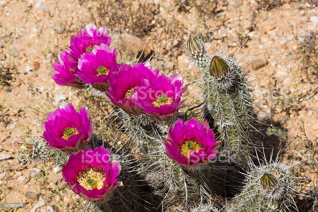 Strawberry Hedgehog Cactus (Echinocereus engelmannii) stock photo