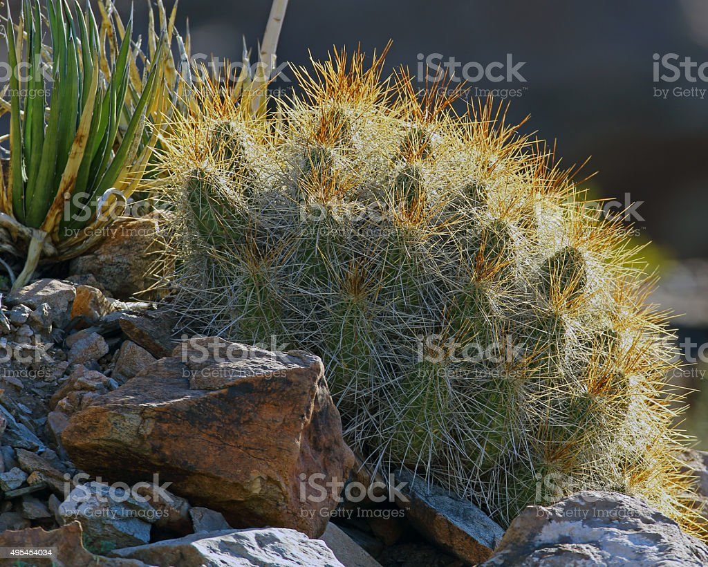 Strawberry Hedgehog Cactus stock photo