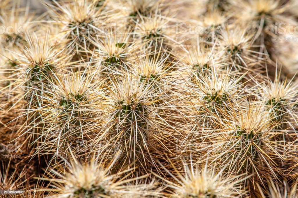 Strawberry Hedgehog Cactus Spines, Anza-Borrego Desert State Park stock photo