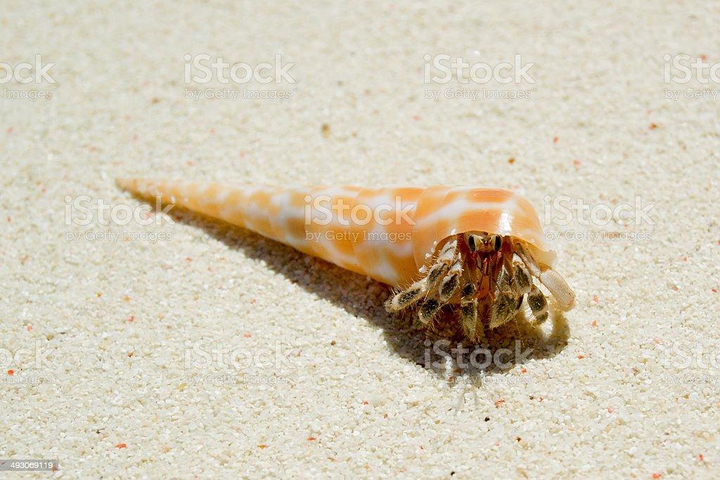 strawberry hermit crab  Coenobita perlatus stock photo