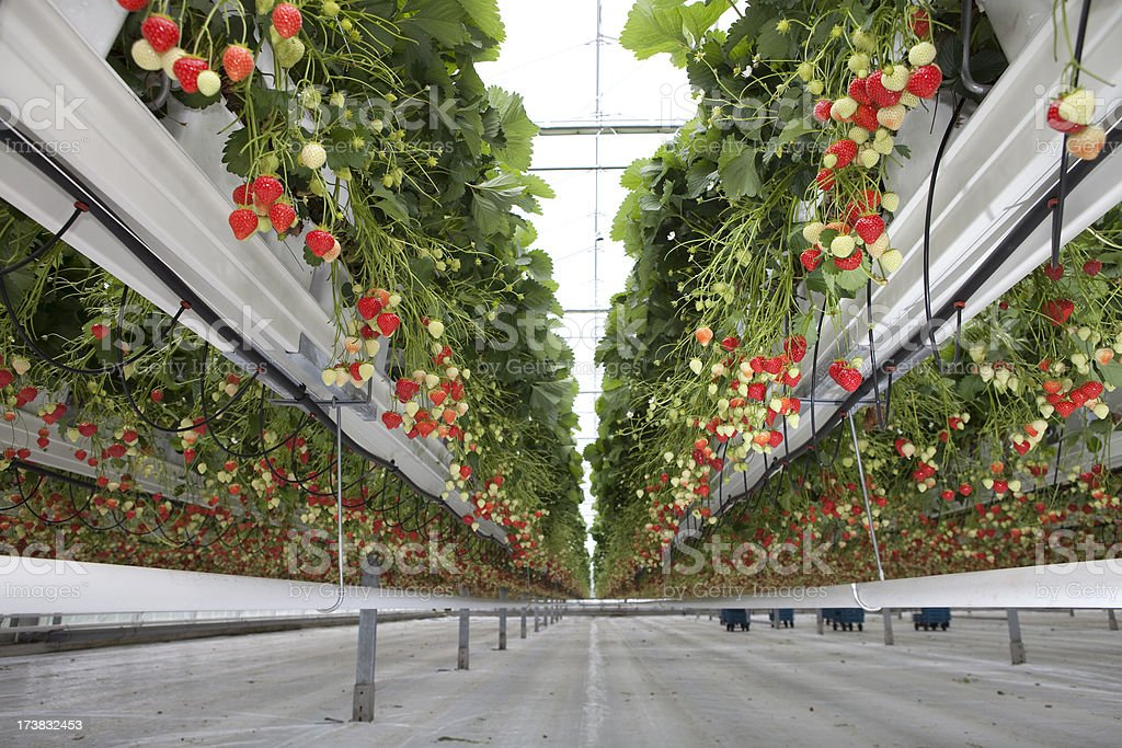 Strawberry in Glasshouse royalty-free stock photo