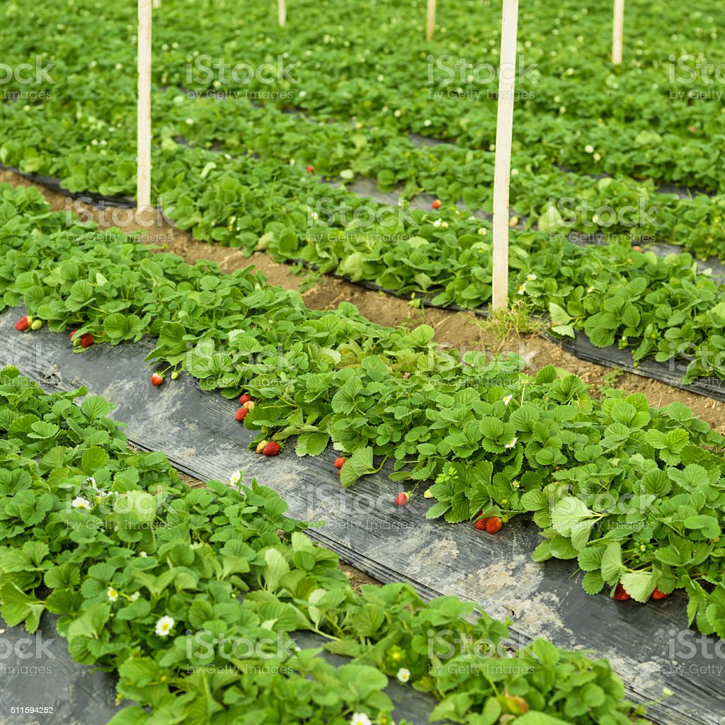 Strawberry In Greenhouse Fruit Garden, Horizontal Composition stock photo