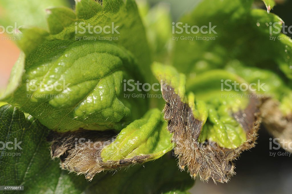 Strawberry leaf diseased stock photo