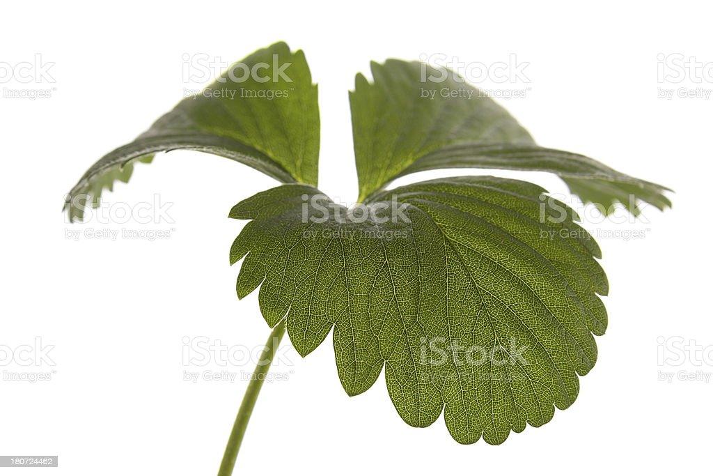 Strawberry Leaf Macro Detail Isolated royalty-free stock photo