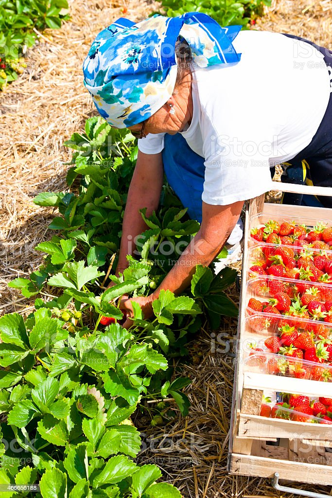 Strawberry Picker stock photo