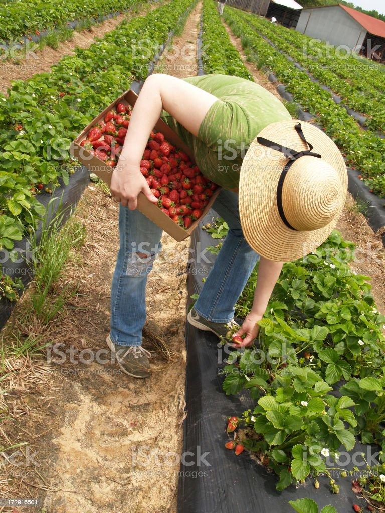 Strawberry picking royalty-free stock photo
