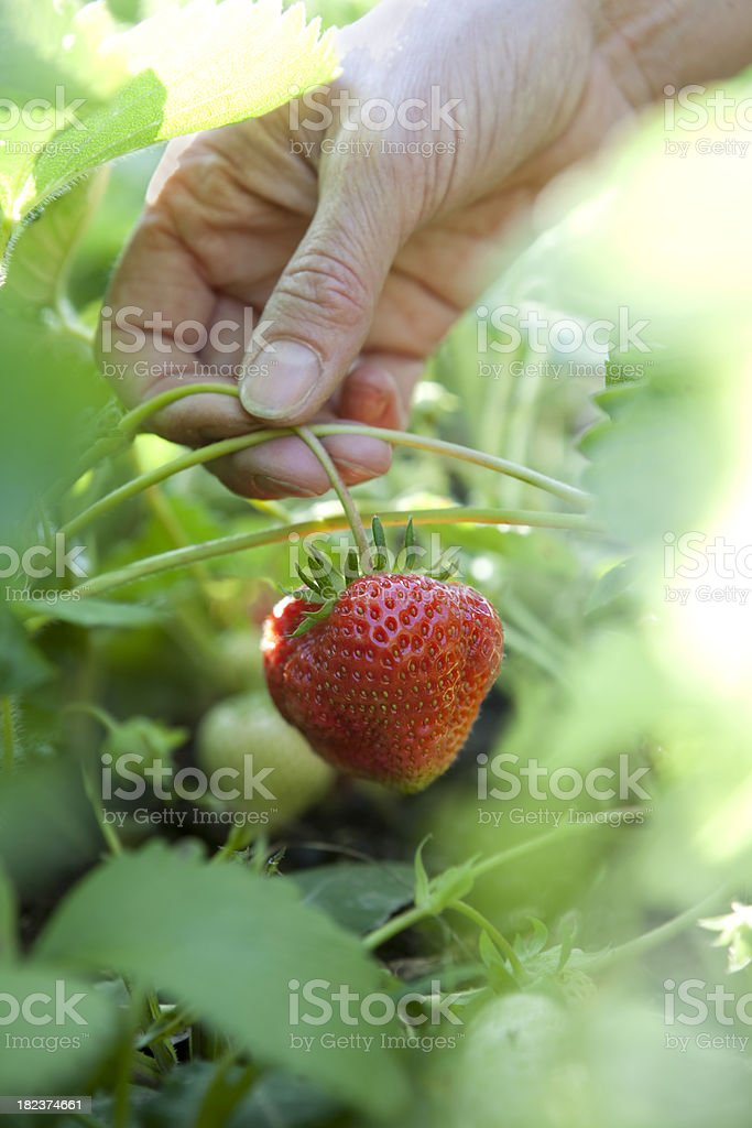 Strawberry Picking royalty-free stock photo