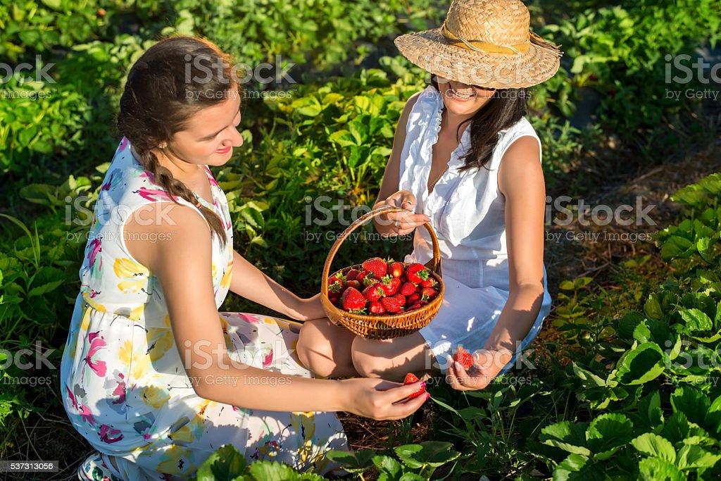 Strawberry Picking stock photo