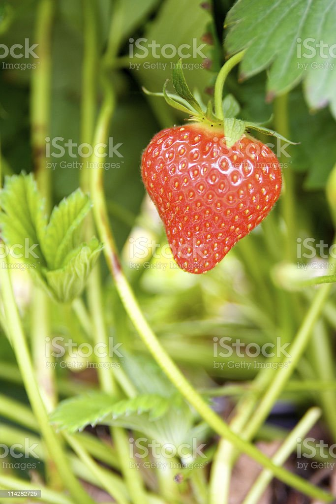 Strawberry... stock photo