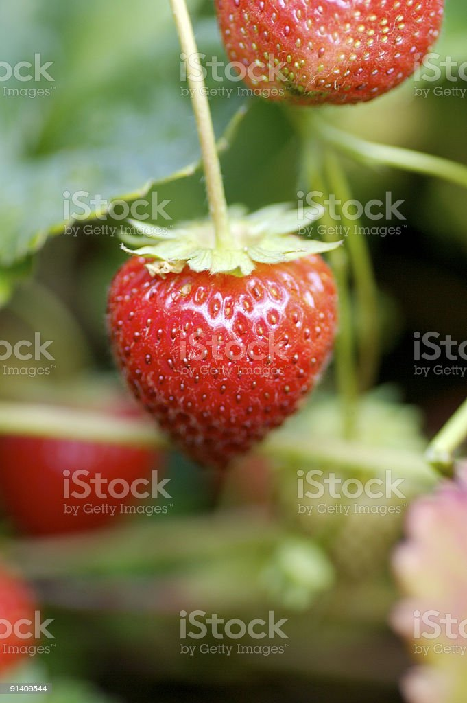 Strawberry... royalty-free stock photo
