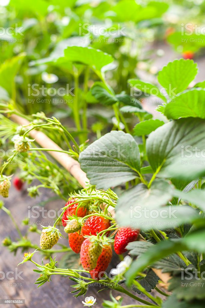Strawberry plant in field stock photo