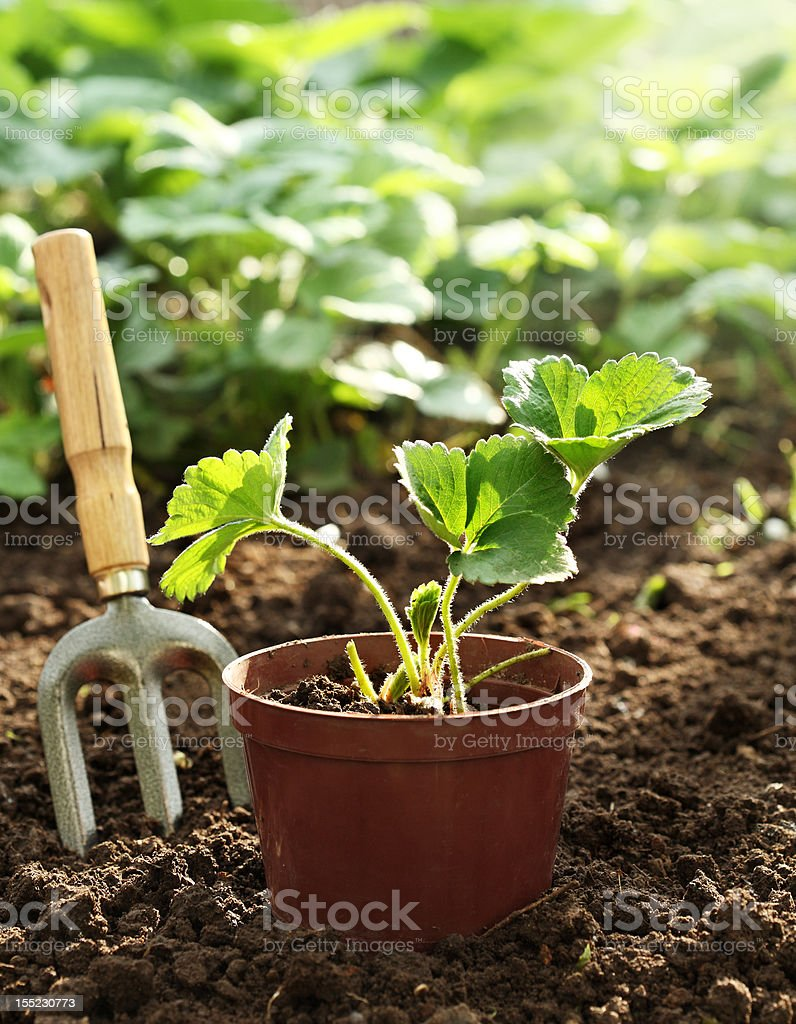 Strawberry plant in pot royalty-free stock photo