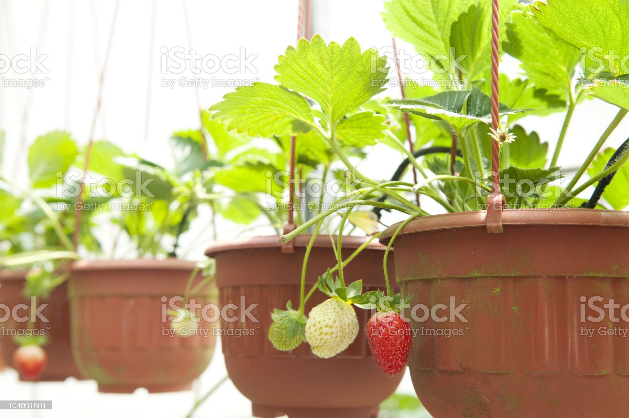 Strawberry plant royalty-free stock photo