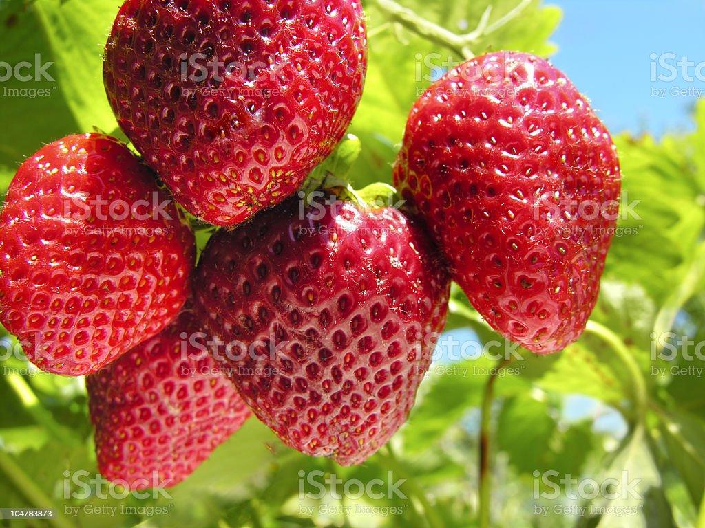 strawberry plantation stock photo