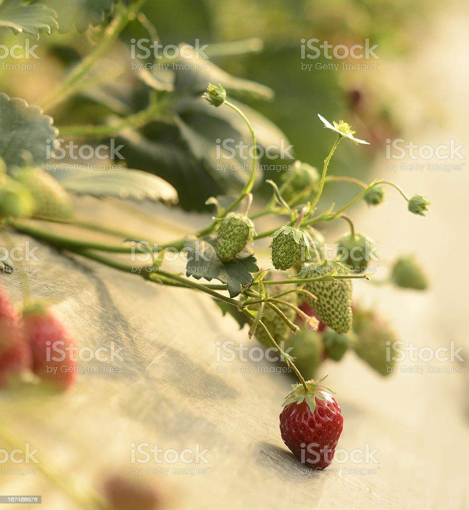 strawberry plantation royalty-free stock photo