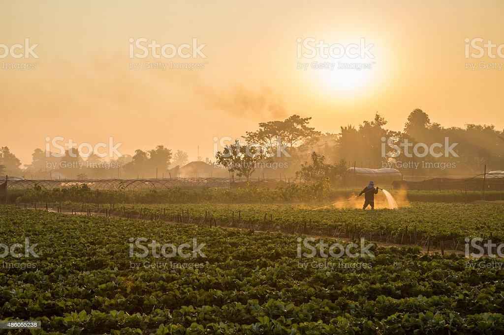Strawberry plantations in the morning stock photo