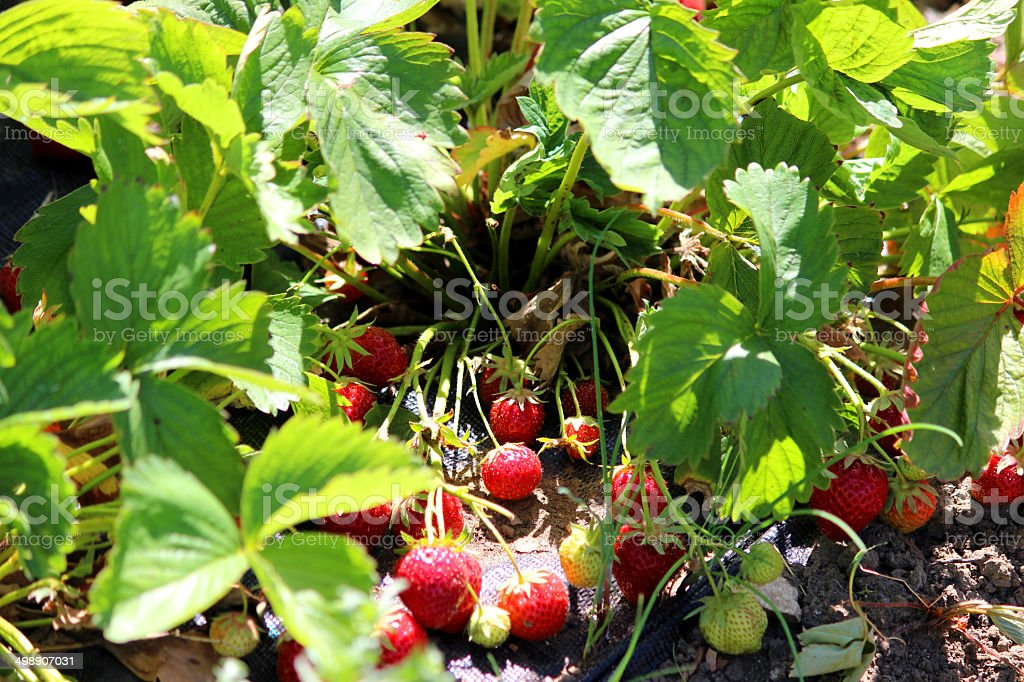 Strawberry plants growing in vegetable garden allotment, strawberry fruit / fruiting royalty-free stock photo
