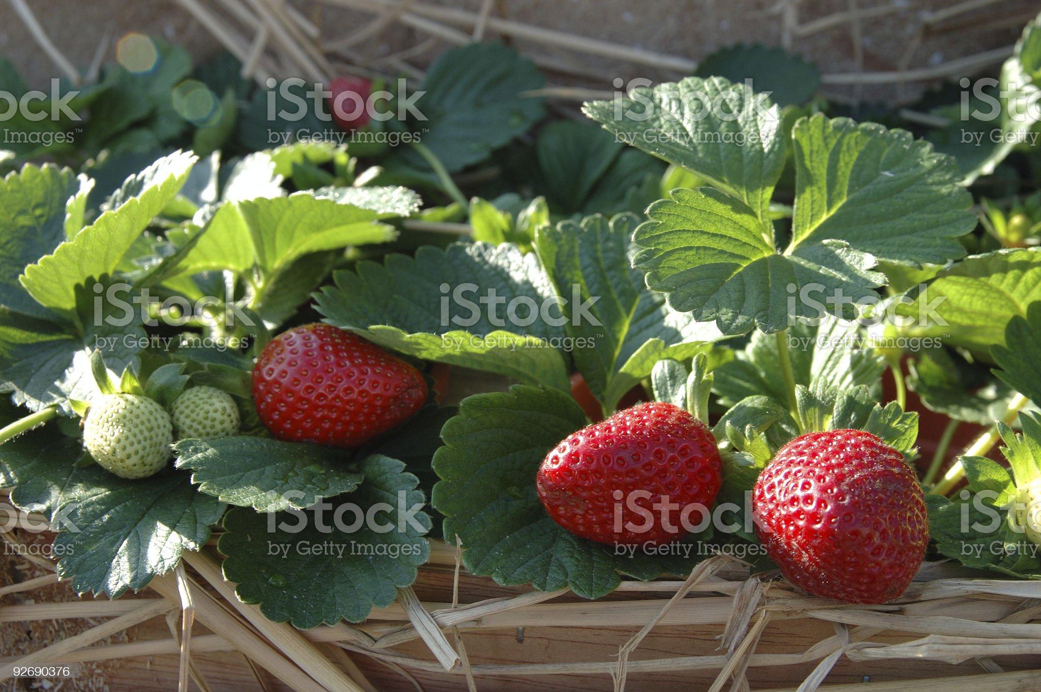 Strawberry plants royalty-free stock photo