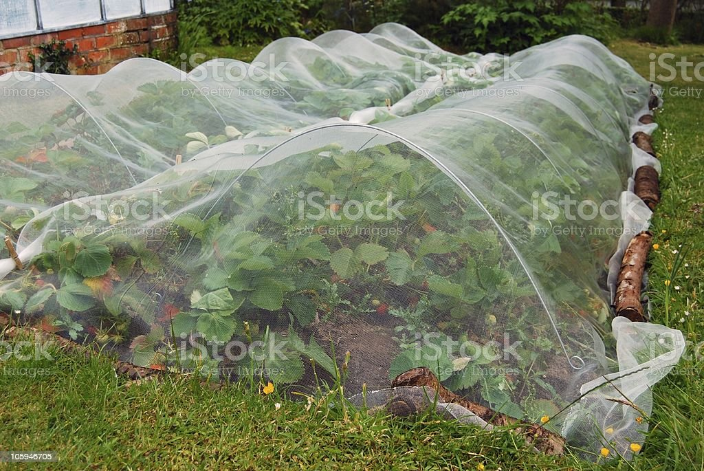 Strawberry plants under nets royalty-free stock photo