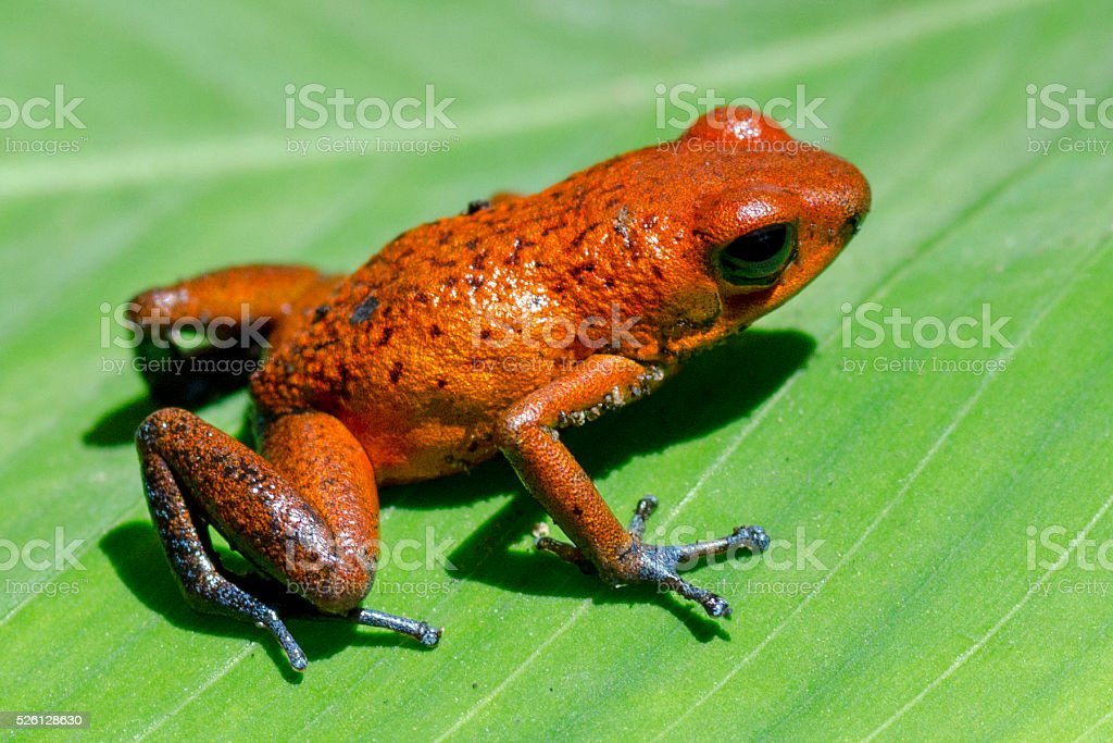strawberry poison-dart frog, Oophaga pumilio stock photo