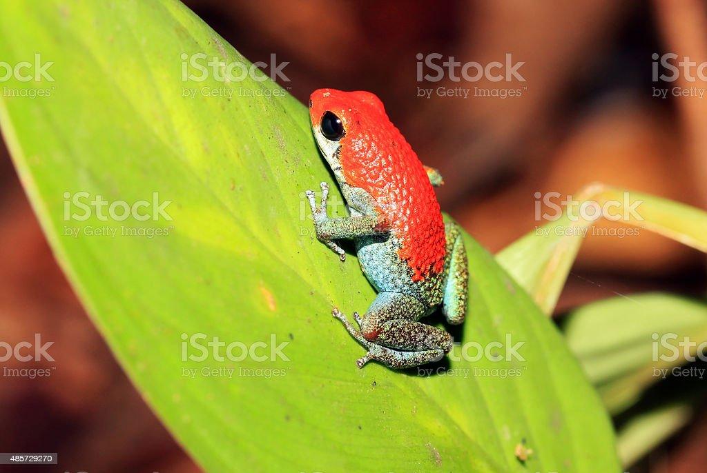 Strawberry Poison-dart Frog stock photo