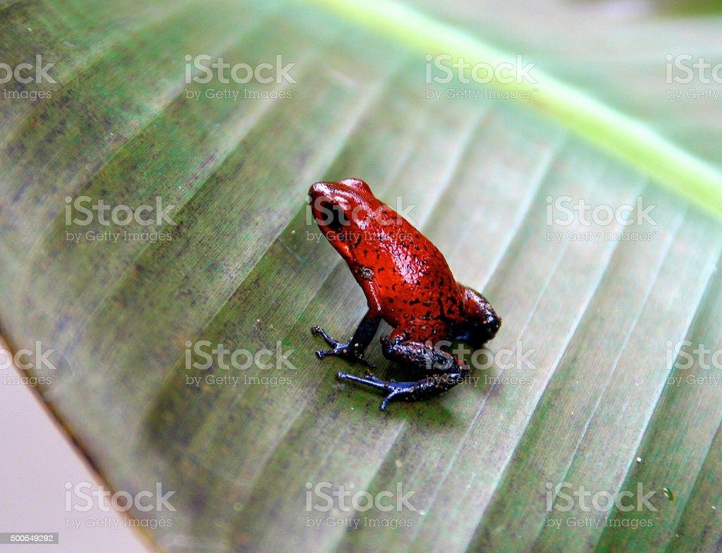 Strawberry poison-dart frog, Tortuguero, Costa Rica stock photo