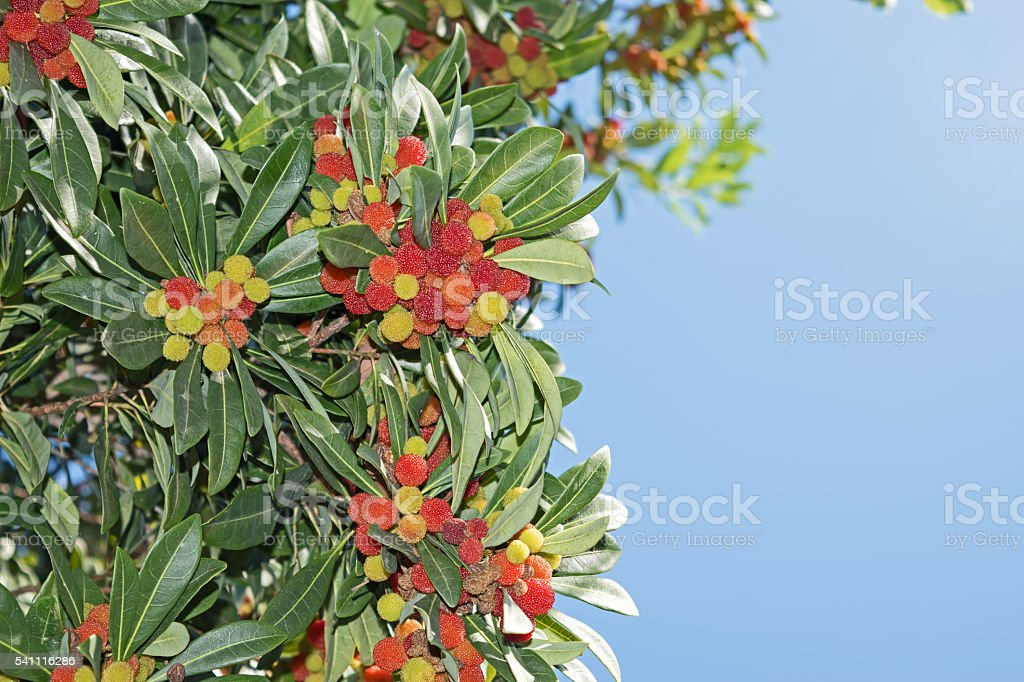 strawberry tree arbutus unedo, fruits stock photo