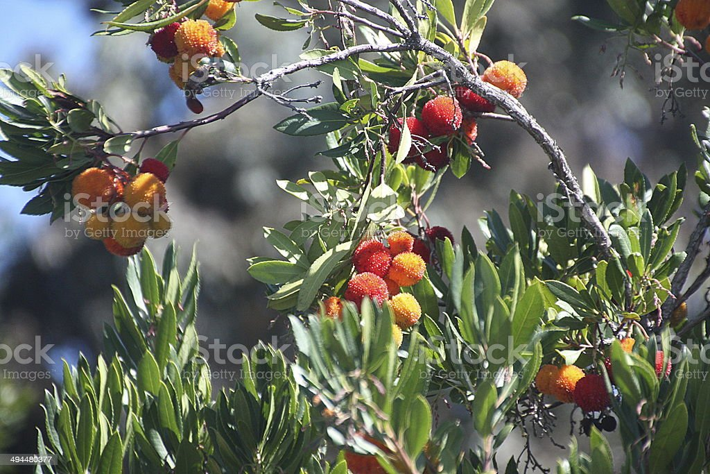 Strawberry Tree - California stock photo