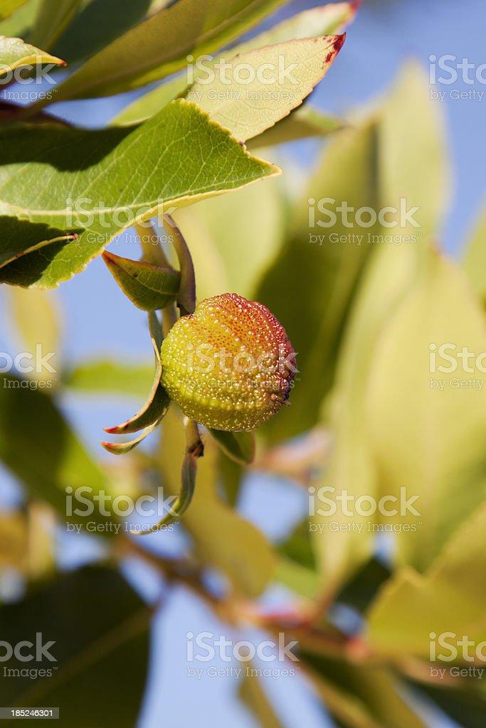 Strawberry Tree royalty-free stock photo