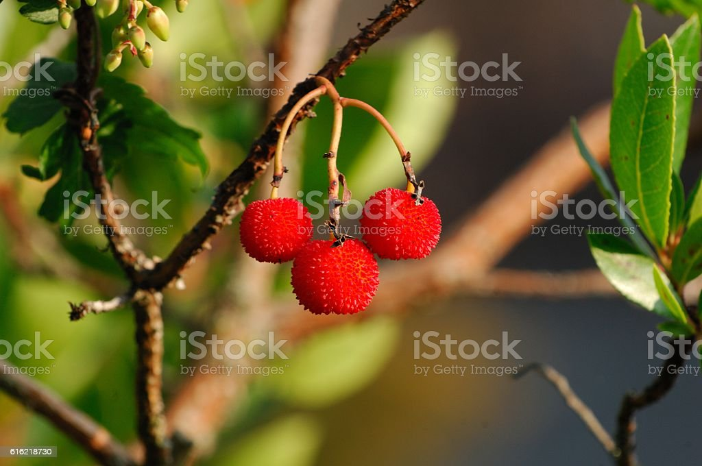 Strawberry tree (Arbutus unedo) stock photo