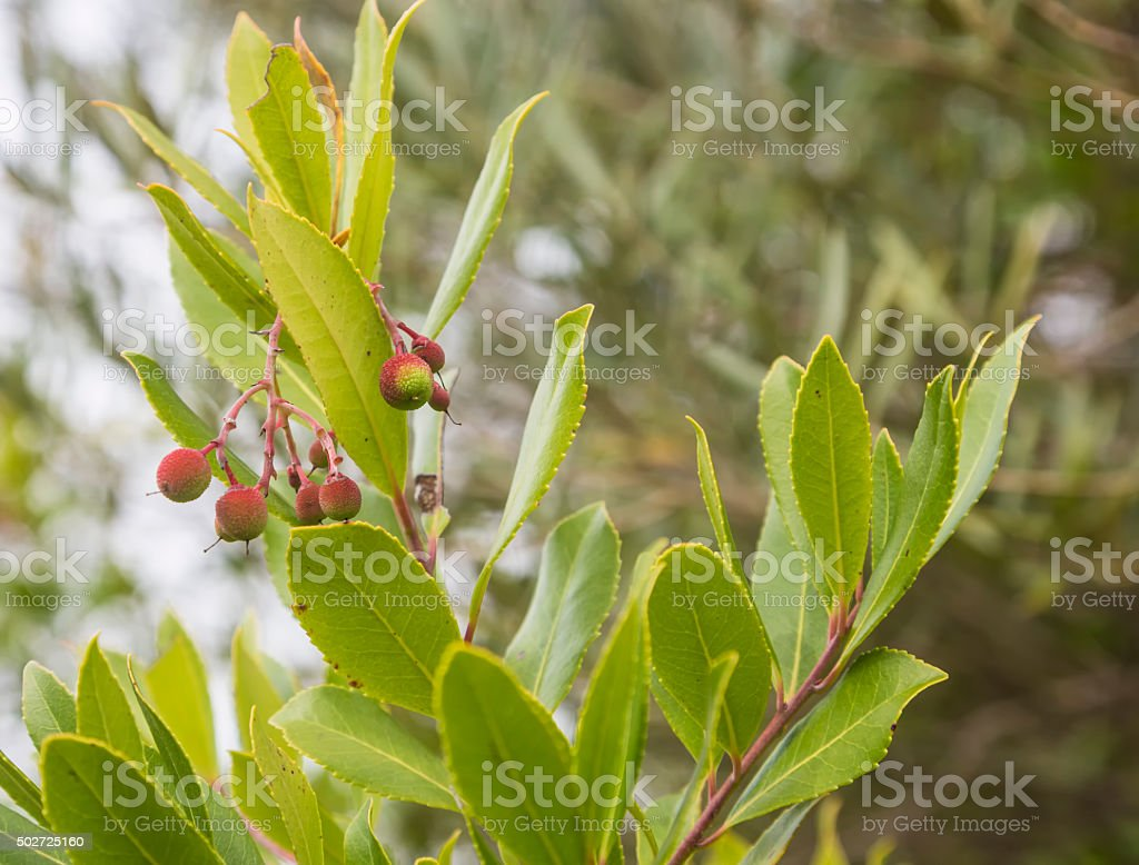 strawberry tree with fruits in Portugal stock photo