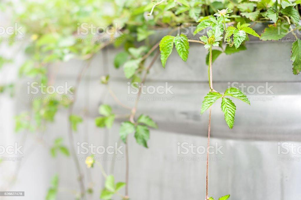 Strawberry vines stock photo