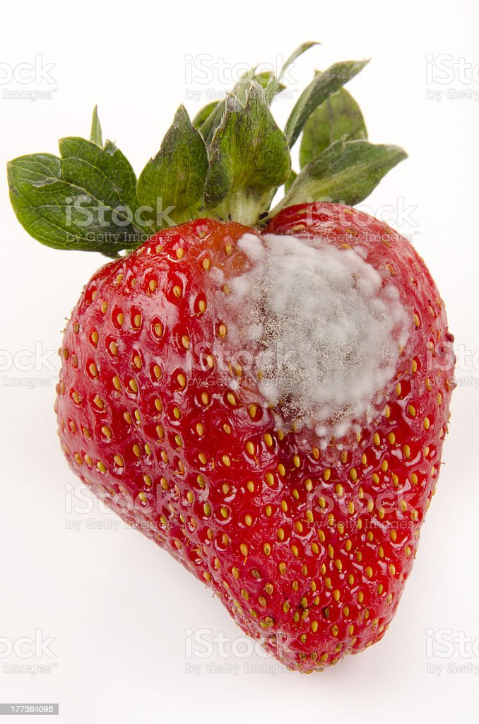 strawberry with mold fungus royalty-free stock photo