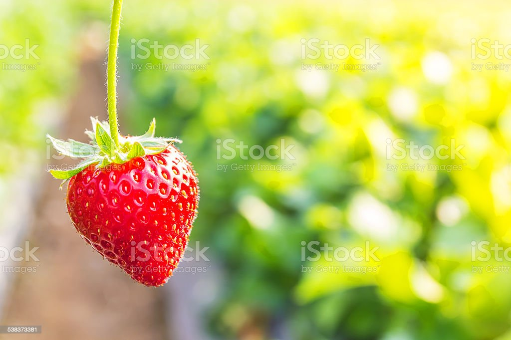 Strawberry with planting strawberry background stock photo