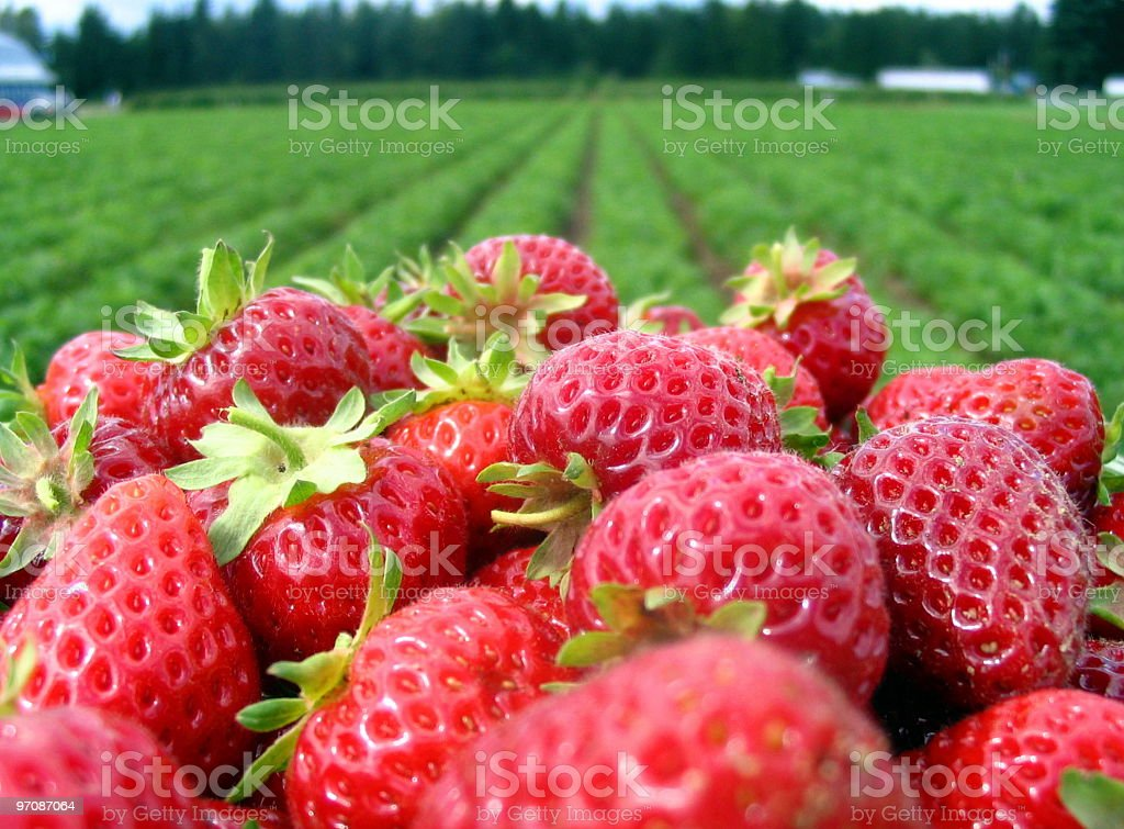 Strawberrys and field. stock photo
