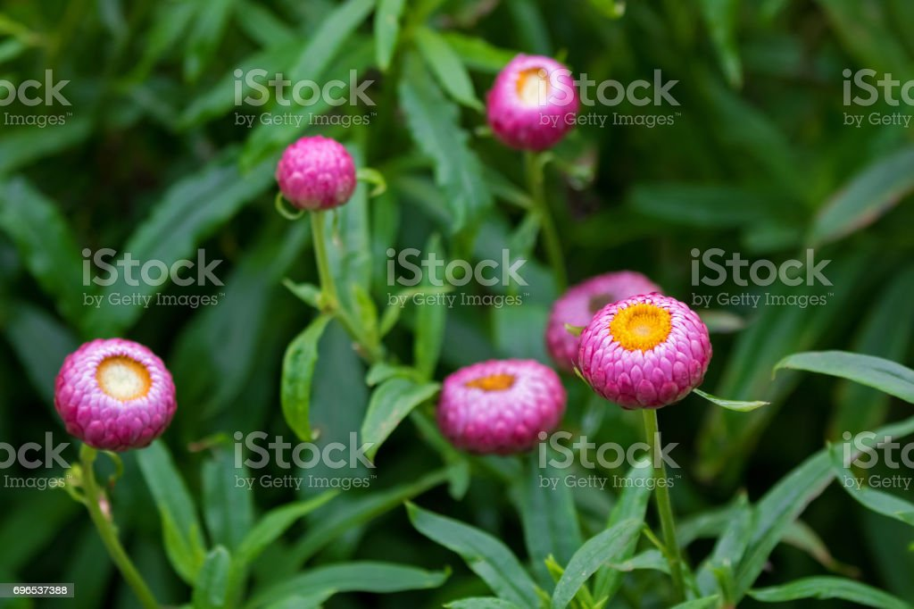 Strawflower flower, golden everlasting in pink grown in Tasmania, Australia stock photo