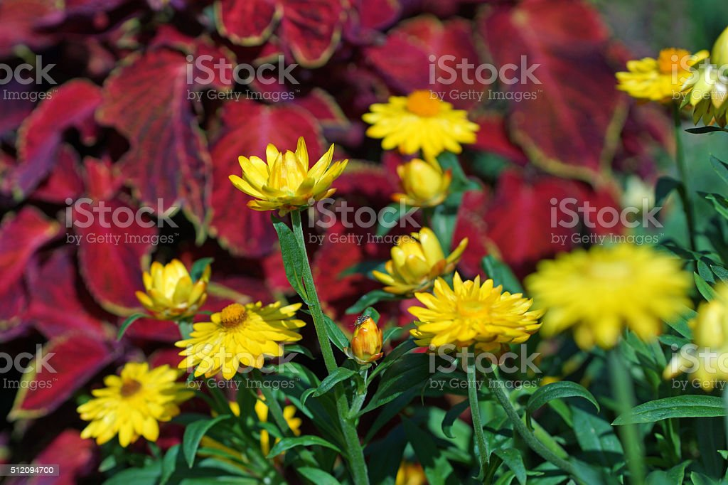 Strawflowers and coleus stock photo